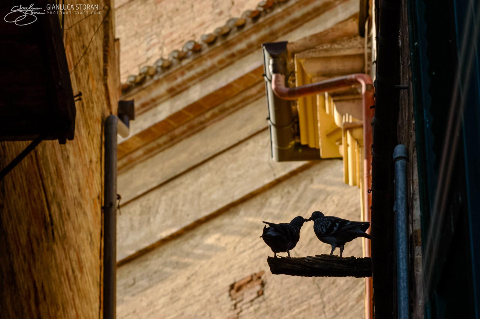 Due piccioncini affettuosi - Gianluca Storani Photo Art (ID: 4-2373)
