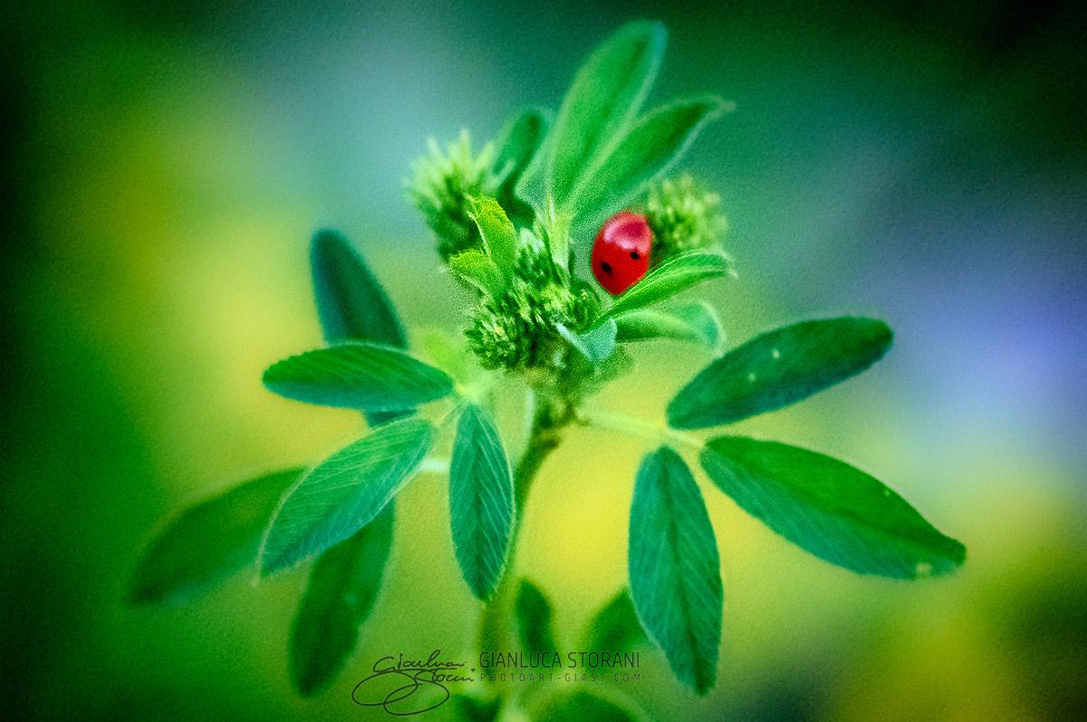 Una coccinella tra le foglie - Gianluca Storani Photo Art (ID: 4-5269)