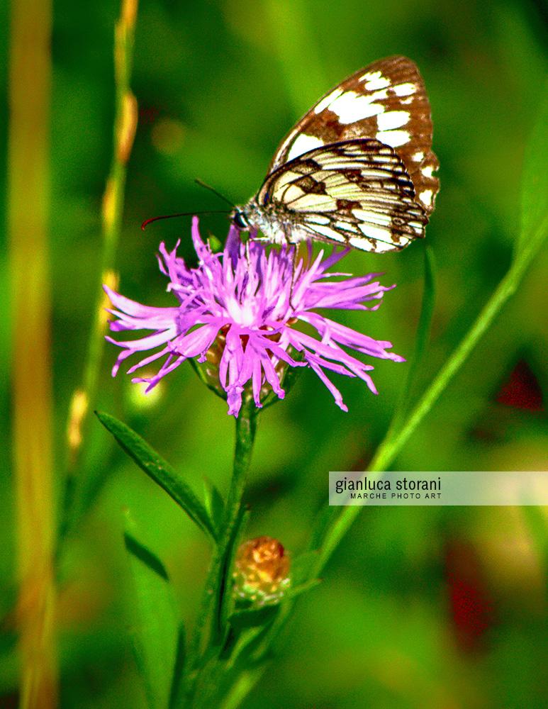 La farfalla effimera - Gianluca Storani Photo Art (ID: 5-2511)