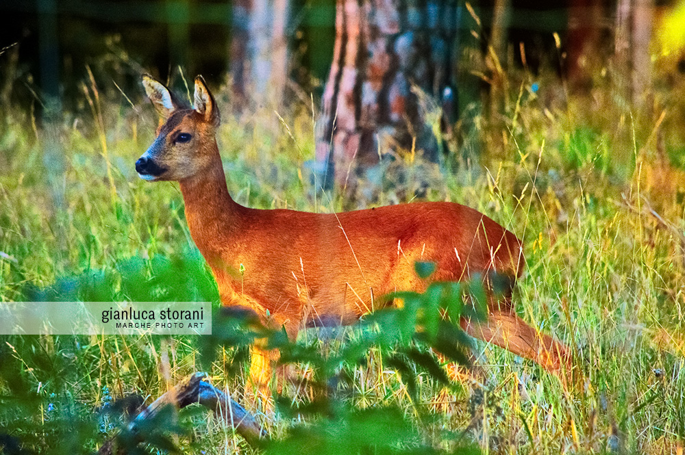 Un Bambi a sorpresa - Gianluca Storani Photo Art (ID: 5-2899)