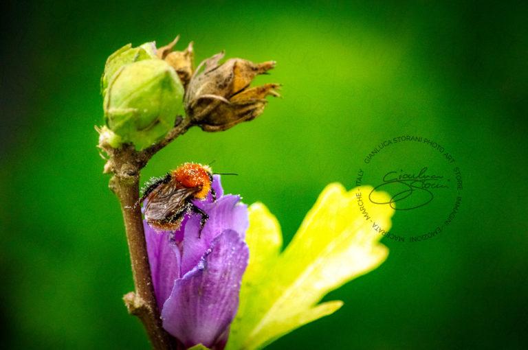 Una piccola ape ebbra di polline