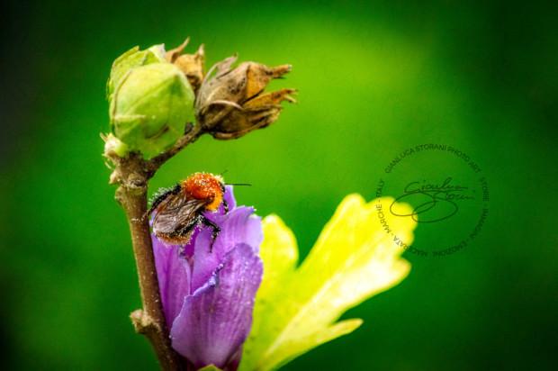 Una piccola ape coperta di polline