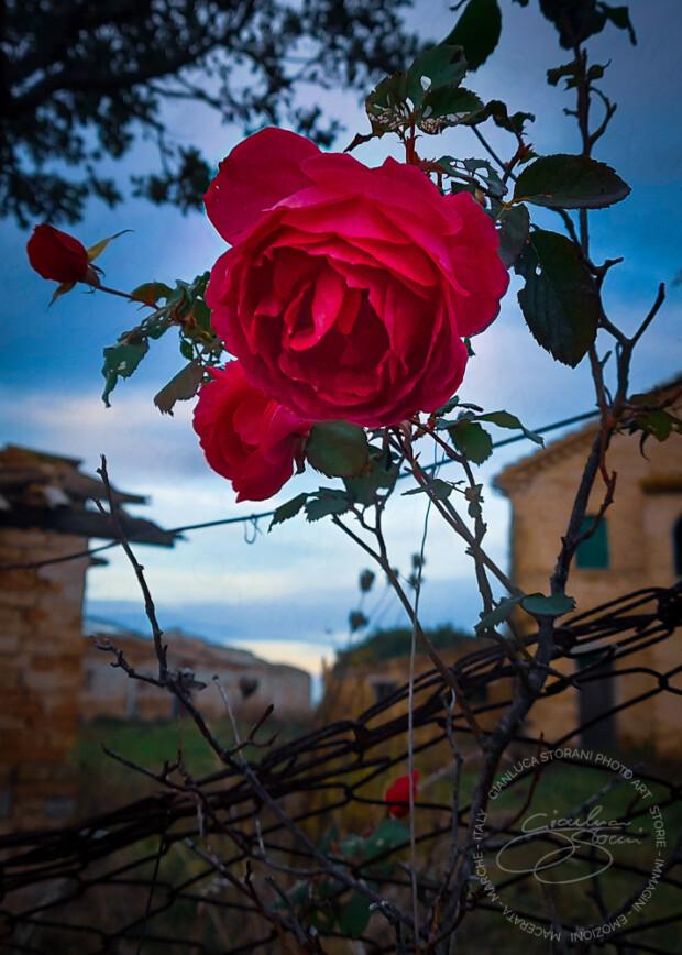 Una rosa rosa fiorita in inverno
